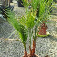 WASHINGTONIA STIPE