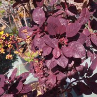 Cotinus Coggygria royal purple feuille