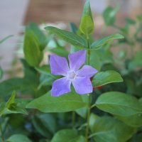 PERVENCHE VINCA MINOR