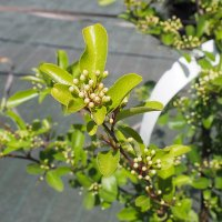 Pyracantha feuille