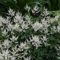 Astilbe japonica Queen of Holland