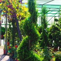BUXUS forme pyramidale
